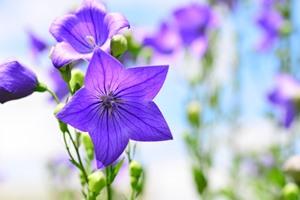 七夕にプレゼントしたいお花を紹介!花言葉やおすすめの品種は?