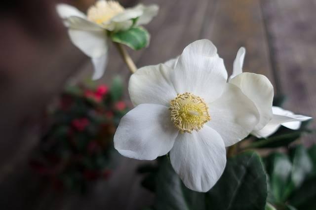 クリスマスローズの名前の由来とは?切り花の選び方のコツも紹介
