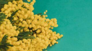 ミモザの開花時期は何月?選び方や飾り方のコツを花屋が紹介します